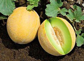 3 Jenis Melon yang Paling Populer di Indonesia